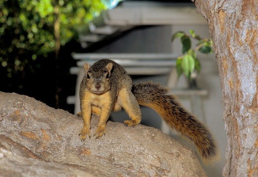 Squirrel has learnt that humans will feed him and stand waiting, Los Angeles, California : Stock Photo