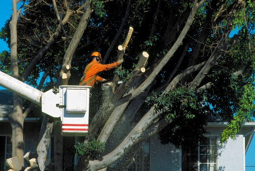 Pneumatic lift enables safe reach when removing branches from tree in Westchester, california : Stock Photo
