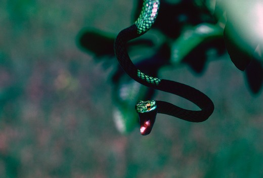 Stock Photo: 4286-84101 Parrot or lora snake, a toothless tree snake.