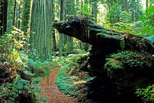 Stock Photo: 4286-84404 Trail in Humboldt Redwoods State Park California