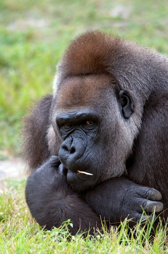 Stock Photo: 4286-85695 western lowland gorilla-2008