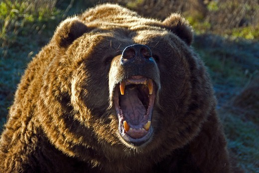 grizzly bear-ursus arctos-2007 : Stock Photo