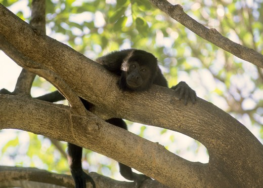 Stock Photo: 4286-85783 Golden-mantled Howler Monkey [Allouatta palliata] peering down from afternoon perch in fig tree during heat of the day siesta (nap);  Costa Rica