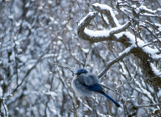 Stock Photo: 4286-85793 Western Scrub Jay [Aphelocoma californica] napping & fluffed up to insulate against the cold; Garden of the Gods, Colorado Springs, Colorado