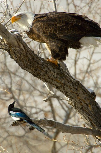Stock Photo: 4286-85802 Bald Eagle [Haliaeetus leucocephalus] perching, feeding on fish, harassed by Black-billed Magpie [Pica hudsonia]; Almont area, CO