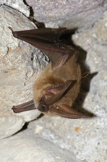 Stock Photo: 4286-85851 Allen's Big-eared Bat [Idionycteris phyllotis] found roosting in abandoned dynamite storage building; Cave Creek Canyon, Arizona