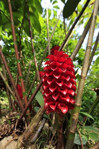 Ginger flower, Lyon Arboreteum, Manoa Valley, Honolulu, Oahu, Hawaii : Stock Photo