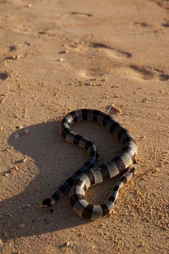 Stock Photo: 4286-88863 Banded sea snake, Viti Levu; Fiji; beach