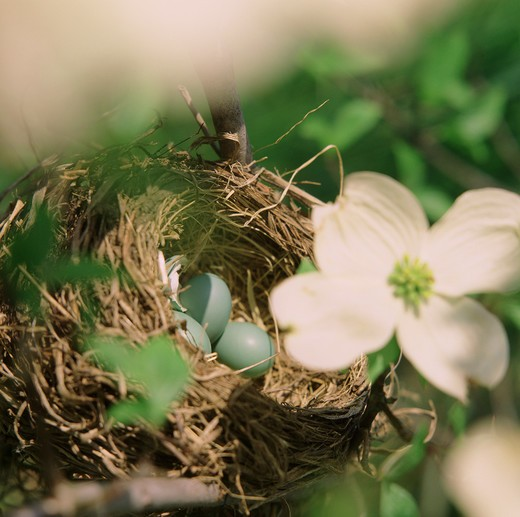 Close-up of Robin?s blue eggs in a nest : Stock Photo