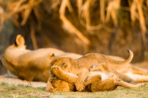 Stock Photo: 4286-89992 Lion cubs playing with mother in Katavi, Tanzania, Africa
