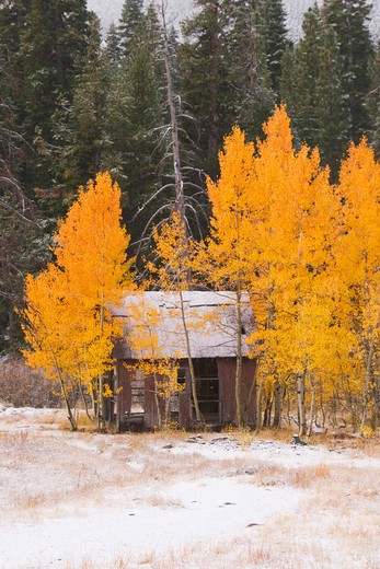 Stock Photo: 4286R-14738 An old cabin in the snow surrounded by yellow aspen trees