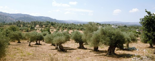 Stock Photo: 4286R-1476 An olive grove in central Crete, Greece, at the height of summer. Olive oil production is a major industry in Greece.
