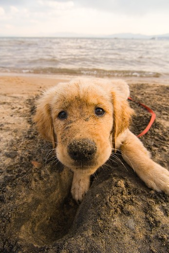 Stock Photo: 4286R-15609 A golden retriever puppy on the beach at Lake Tahoe in California