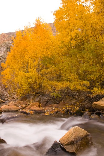 Yellow aspen trees by Bishop Creek with blurry flowing water in California : Stock Photo