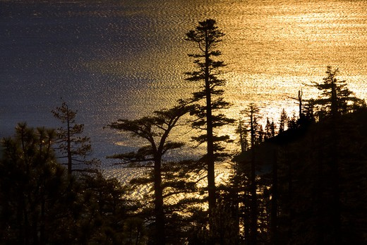 Sugar pines and golden reflections on Lake Tahoe in California : Stock Photo