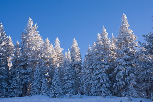 Stock Photo: 4286R-15948 Snow covered pine trees on a winter morning
