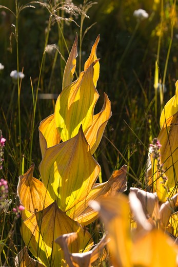 False Hellebore plants dying and turning brown in the fall in a meadow in the Sierra mountains of California : Stock Photo