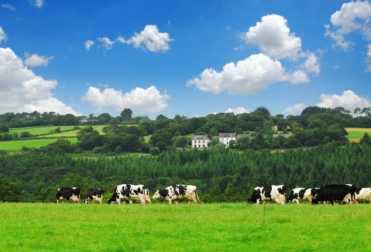 Stock Photo: 4286R-2486 Cows grazing on a green pasture in rural Brittany, France