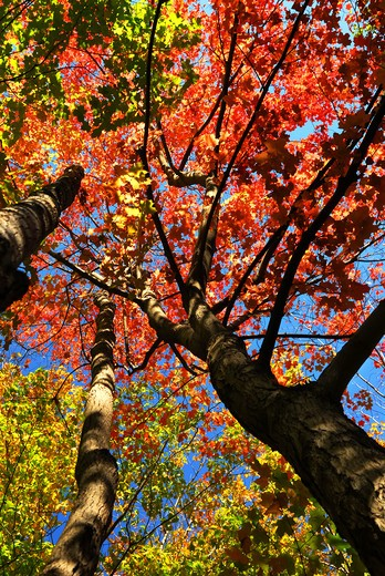 Stock Photo: 4286R-2605 Colorful fall forest on a warm autumn day
