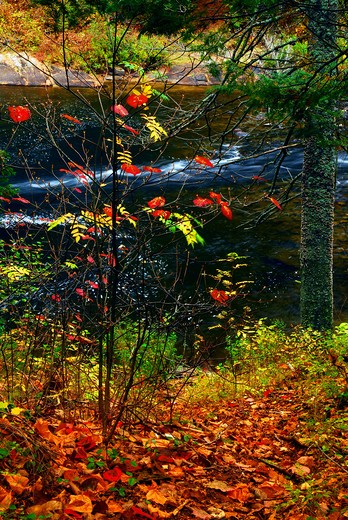 Stock Photo: 4286R-2608 Fall forest with river in the background. Algonquin provincial park, Canada.