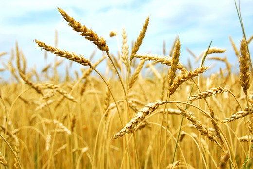 Stock Photo: 4286R-3418 Yellow grain ready for harvest growing in a farm field