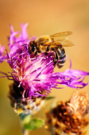 Stock Photo: 4286R-4079 Close up of honey bee on knapweed flower