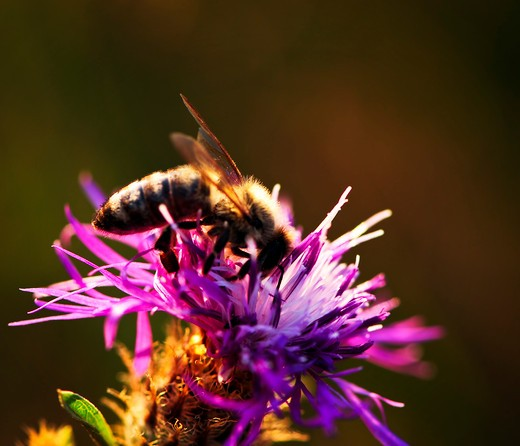 Stock Photo: 4286R-4081 Close up of honey bee on knapweed flower