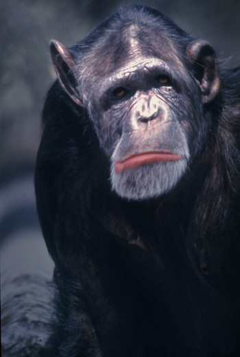 Close-up of a Chimpanzee ape making a sad face. : Stock Photo