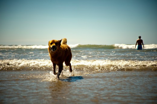 Stock Photo: 4288-1298 Dogs playing in water at beach.