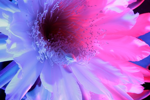 Stock Photo: 4288-1488 A pink and purple San Pedro cactus blossom on a black background.