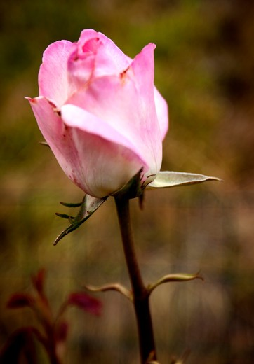 Single pink rose. : Stock Photo