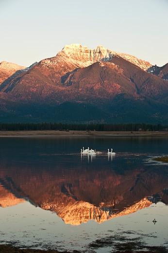 Stock Photo: 4288-1648 Swans on reflective lake, Montana, USA.