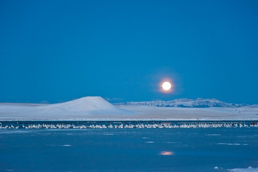 Stock Photo: 4288-1657 Flocks of Snow Geese rest on Freezeout Lake, Montana.