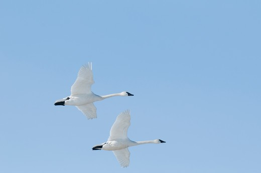 Swans in flight over the Rocky Mountains : Stock Photo