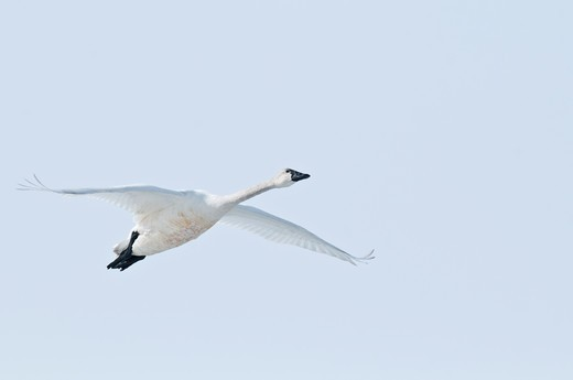 Swan in flight. : Stock Photo