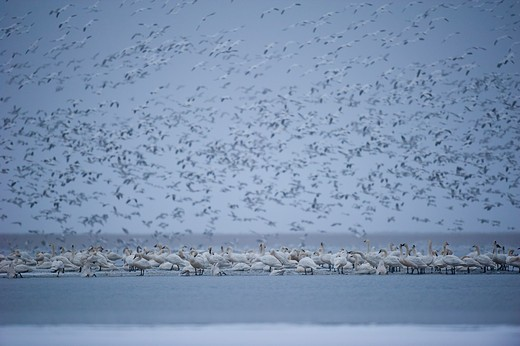 Flock of birds over lake, Montana, USA. : Stock Photo