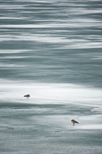 Geese sleeping on frozen lake. : Stock Photo