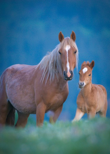 Stock Photo: 4288-1698 Horse and foal in morning light.