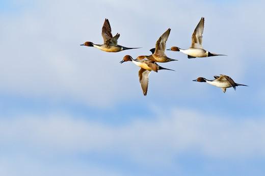Stock Photo: 4288-1714 Pintail ducks in flight.