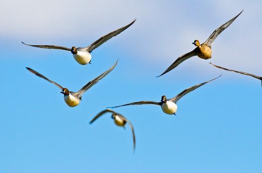 Pintail ducks in flight. : Stock Photo