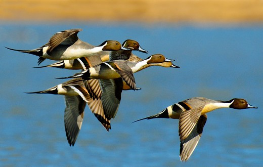 Pintail ducks in flight. : Stock Photo