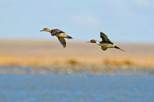 Stock Photo: 4288-1722 Pintail ducks in flight.