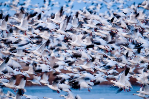 Snow Geese, Freezeout Lake Wildlife Area, Montana, USA : Stock Photo
