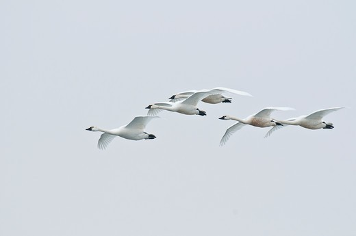 Swans in flight. : Stock Photo