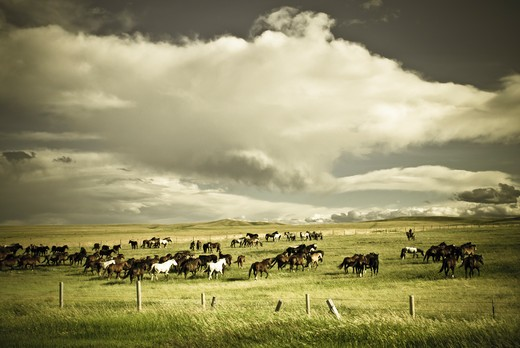 Stock Photo: 4288-1771 Native American round-up on the Blackfeet reservation, Montana, USA.