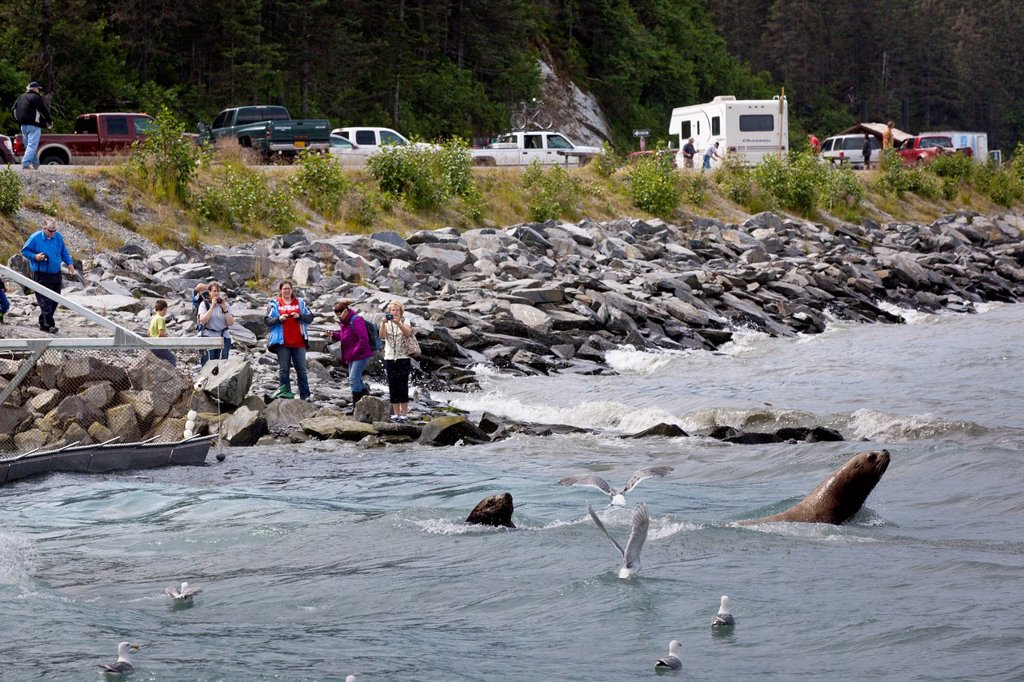 Sea Lions fish for salmon at Allison Point as visitors watch from the shoreline, Valdez, Southcentral Alaska, Summer : Stock Photo