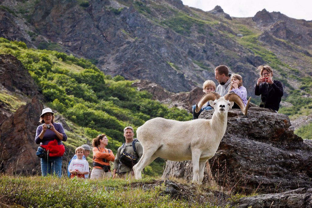 A group of hikers photograph a close by ram Dall Sheep, Savage River valley, Denali National Park and Preserve, Interior Alaska, Summer : Stock Photo