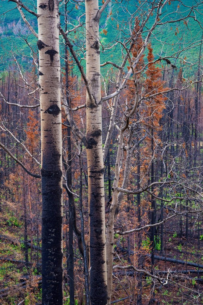 Stock Photo: 4289-11444 View of burnt trees from the Eklutna Lake Fire, Chugach State Park, Southcentral Alaska, Autumn