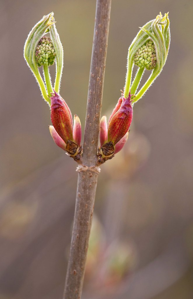 Close up of new growth of Red Elderberry blossoms, Chugach State Park, Southcentral Alaska, Spring : Stock Photo