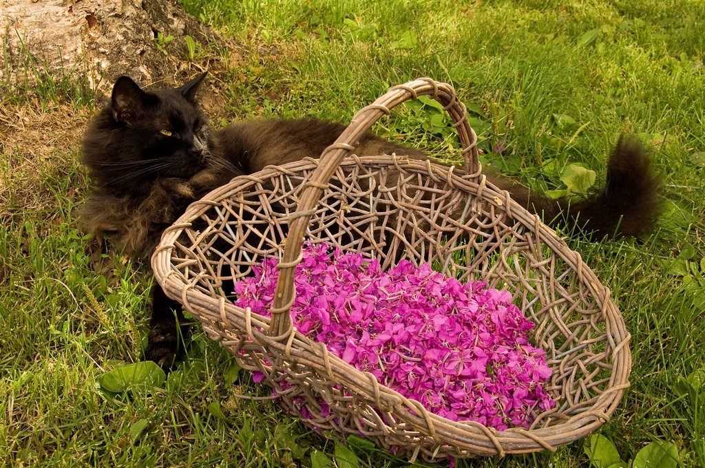Stock Photo: 4289-11586 Medium_haired domestic black cat laying with a basket of harvested fireweed blossoms in Anchorage, Southcentral AK, Summer